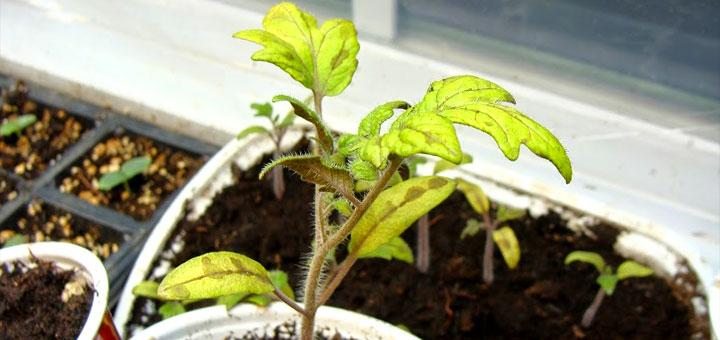 Желтеют листья у рассады помидор