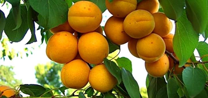 Почему абрикос цветет но не плодоносит